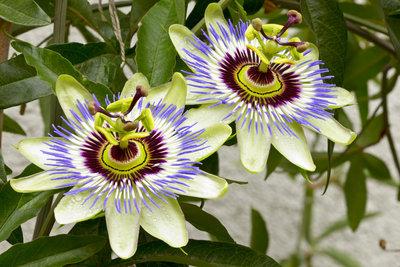 Passionsblumen sind pflegeleicht und eignen sich gut zur Begrünung von Mauern und Zäunen.