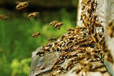 Der Bienenstock dient bei Bernard Mandeville als Metapher für die damalige Gesellschaft Englands.