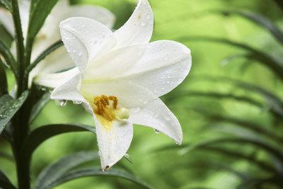 Eine der schönsten Lilienarten ist die Madonnenlilie mit großen weißen Blüten.