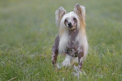 Ein Chinesischer Schopfhund besticht durch seine äußere Erscheinung.