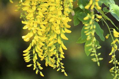 Wunderschön leuchtende Blüten an einem Baum: Der Chimären-Goldregen ist nicht zu übersehen.