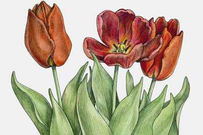 Tulpen gibt es in verschiedenen Farben und Formen. Der Grundaufbau ist aber immer gleich.