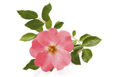 Die Wildrose zeigt sich mit fünf Blütenblättern.
