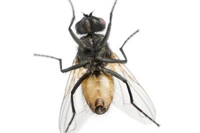 Hausungeziefer ist ein ernstzunehmendes Problem. Auch die Stubenfliege gehört dazu.