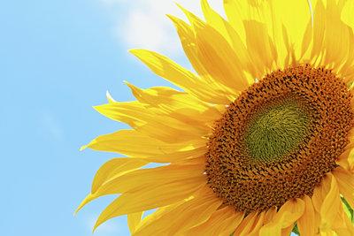 Sonnenblumen drehen sich zur Sonne hin und zeigen so, dass auch sie sich bewegen können.