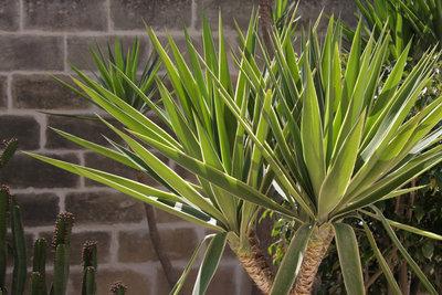 Yucca-Palmen bringen exotisches Flair in Ihre Wohnung oder in den Garten.