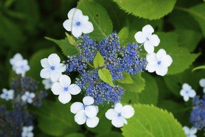 Die Blüten der Tellerhortensie sind ausgefallen und besonders hübsch.