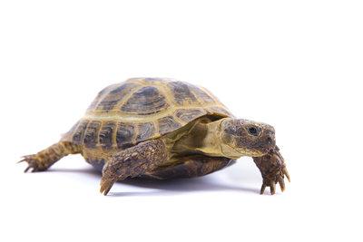 Nur die Unterart ibera der Maurischen Landschildkröte hält Winterschlaf.