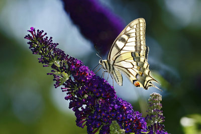 Der Sommerflieder gilt als wahrer Schmetterlingsmagnet.