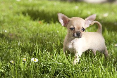 Der Chihuahua ist die kleinste Hunderasse der Welt.