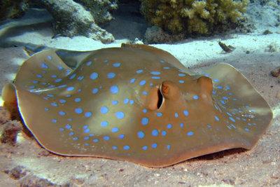Der Blaupunktrochen ist ein farbenfroher Bewohner der Korallenriffe.