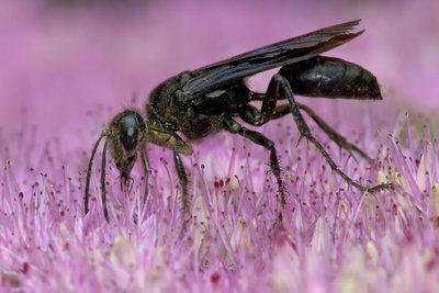 Schwarze Wespe - egal welche, die meisten sind nützlich.