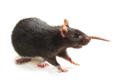Die Ratte spielt bei der Übertragung der Pest eine große Rolle.