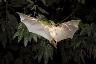 Fledermäuse können ein Tollwutvirus übertragen.