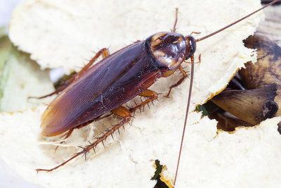 Tagsüber versteckt und nachts aktiv - Kakerlaken sind schlimme Schädlinge.