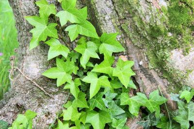 Efeu rankt sich gerne an Bäumen hoch. Schaden nimmt der Stützbaum dadurch nur selten.