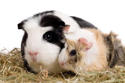 Meerschweinchenbabys brauchen den sozialen Kontakt zu Artgenossen.