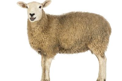 Das Schaf ist ein koscheres Tier, weil es ein paarhufiger Wiederkäuer ist.