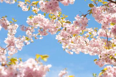 Schneiden ist beim Kirschbaum mehr als nur Kosmetik.