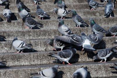 Tauben - Symbol des Friedens und auf dem eigenen Balkon oft einfach ein Ärgernis.