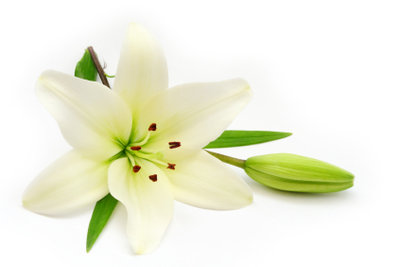 Die weiße Lilie ist in vielen Kulturen Symbol für Schönheit und Reinheit, aber auch für den Tod.