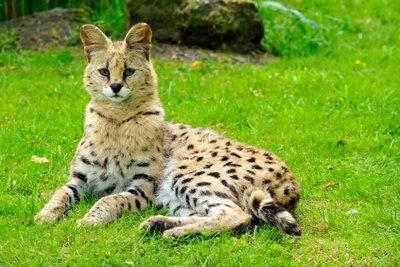 Exoten wie die Servalkatze werden als Haustiere immer beliebter.