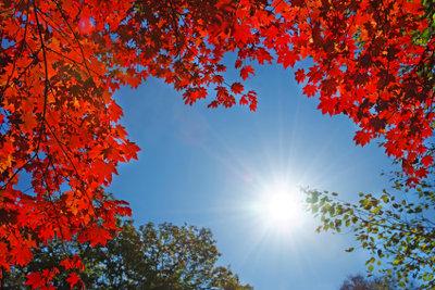 Der rote Zierahorn ist eine beliebte Zierpflanze.