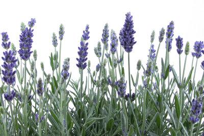 Für optimales Wachstum muss Lavendel regelmäßig zurückgeschnitten werden.