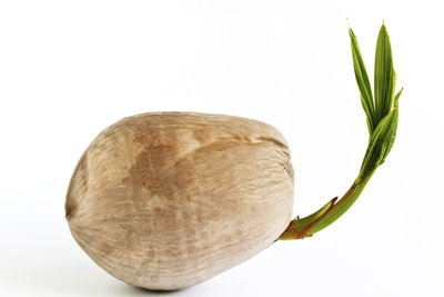 Die Kokospalme wirkt besonders gut durch den großen Samen.