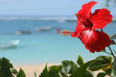 Die exotischen Blüten des Hibiskus. Ein fachgerechter Schnitt stärkt die Pflanze.
