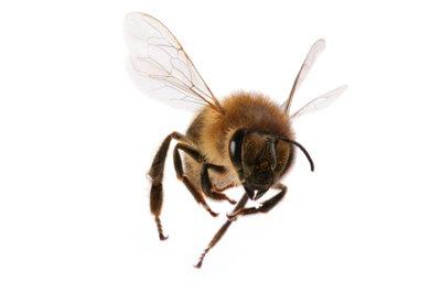 Bienen können lästig werden, doch statt sie zu bekämpfen sollte man versuchen mit ihnen auszukommen