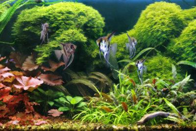 Jedes Aquarium ist ein empfindliches Ökosystem - kleinste Schwankungen führen zu Fadenalgenbildung