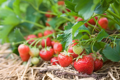 Erdbeeren schmecken nach Sommer.