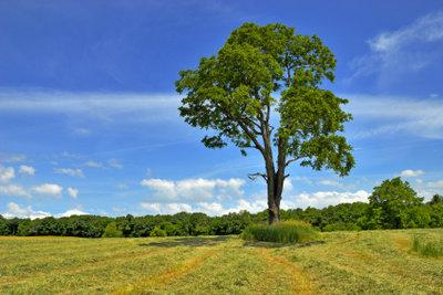 Der Baumschnitt hat bei der Walnuss keinen Einfluss auf den Ernteertrag.