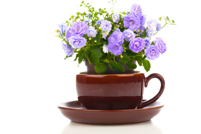 Kleine Arten von Glockenblumen wachsen auch in Minigefäßen im Zimmer.