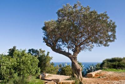 Ein Olivenbaum sollte einmal jährlich beschnitten werden.