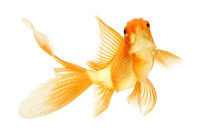 In großen Gartenteichen fühlen sich Goldfische richtig wohl.