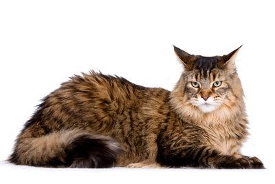 Bei der Haltung großer Hauskatzen muss einiges beachten werden.