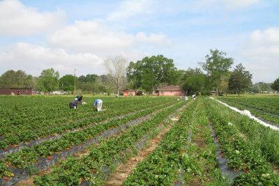 Erdbeeren zu ernten oder zu verkaufen ist ein klassischer Sommerferienjob.