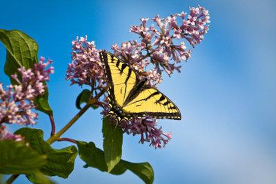 Der Schmetterlingsstrauch zieht Schmetterlinge magisch an.