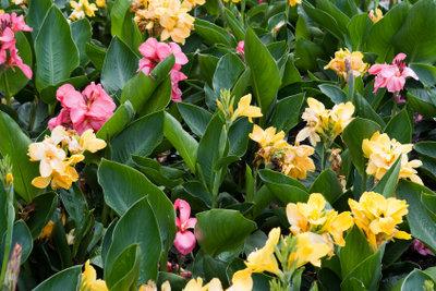 Die Canna Pflanze ist in den unterschiedlichsten Farben erhältlich.