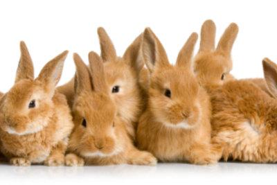 Ein Wurf Kaninchenbabys muss gut umsorgt werden.