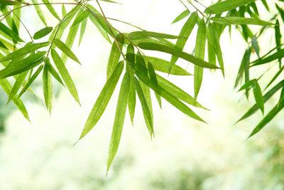 Bei guter Pflege ist der Bambus leuchtend grün.