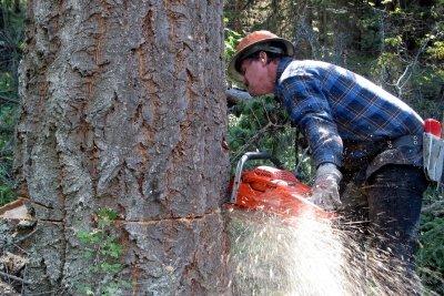 In Deutschland darf ein Baum nicht ohne Motorsägenschein gefällt werden.