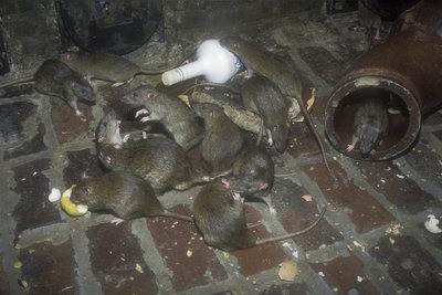 Ein schmutziger, verlassener Keller ist ein Paradies für Ratten.