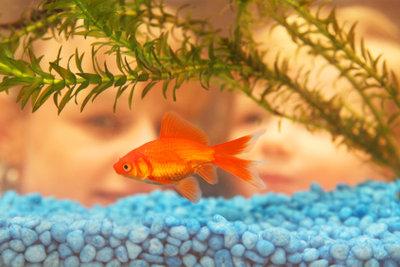 Ein Goldfisch leidet bei schlechter Haltung stumm. Dies sollten Sie bei der Haltung beachten.