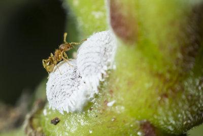 Ameisen lieben den Honigtau den Schmierläuse ansondern.