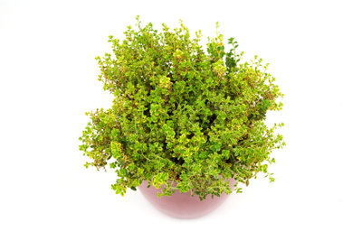 Die kleinen Blättchen des Zitronenthymians sind reich an ätherischen Ölen.