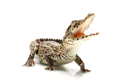 Das Krokodilfleisch zur Zubereitung in der Küche wird eigens gezüchtet.