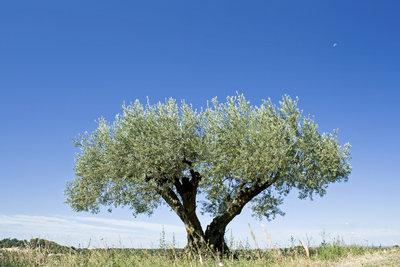 Ein Olivenbaum im Topf braucht mehr Pflege, als ein Baum in freier Natur.